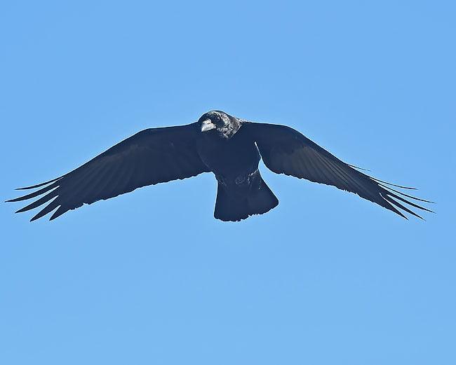 crow.lk_.jpg