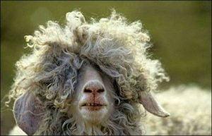 wool-sheep.jpg