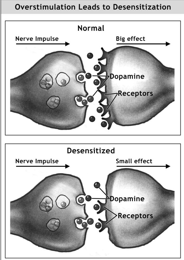 Overstimulation leads to desensitization of neurotransmitters travelling across the synaptic cleft