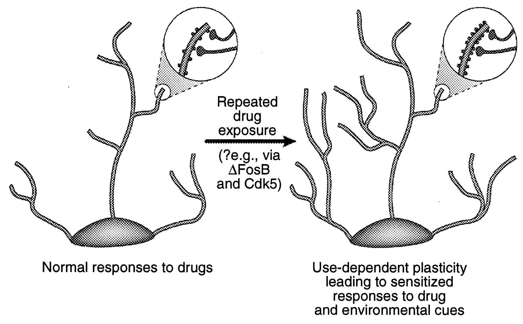 Drug use-dependent neuroplasticity