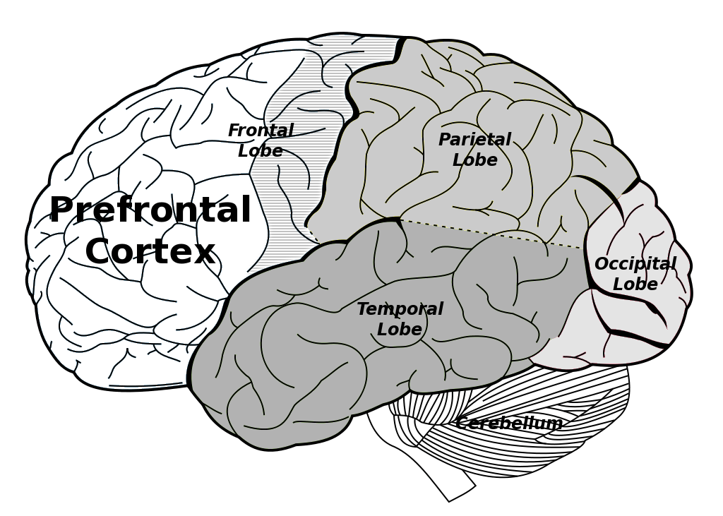 Main brain structures